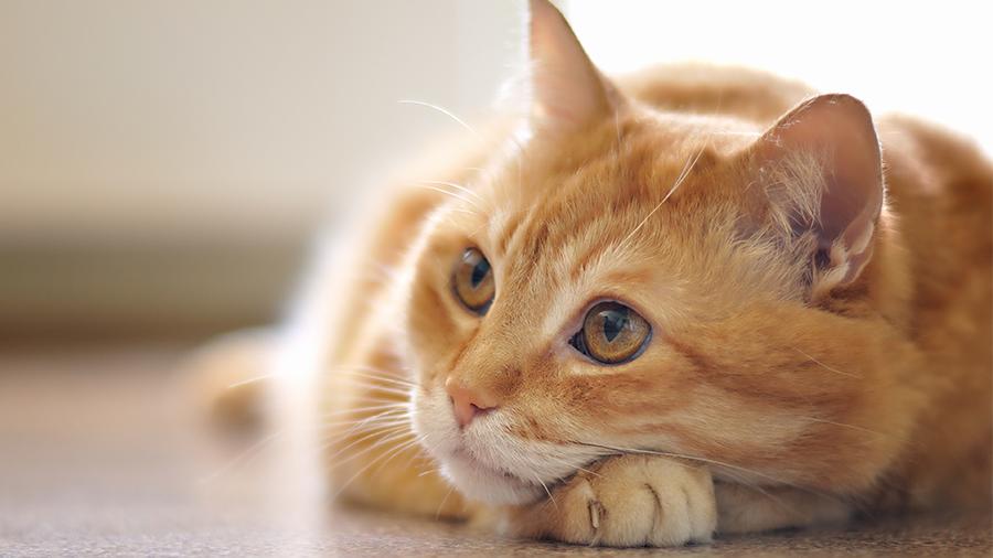 Como-cuidar-de-um-Gato